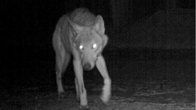 Der Wolf nachts